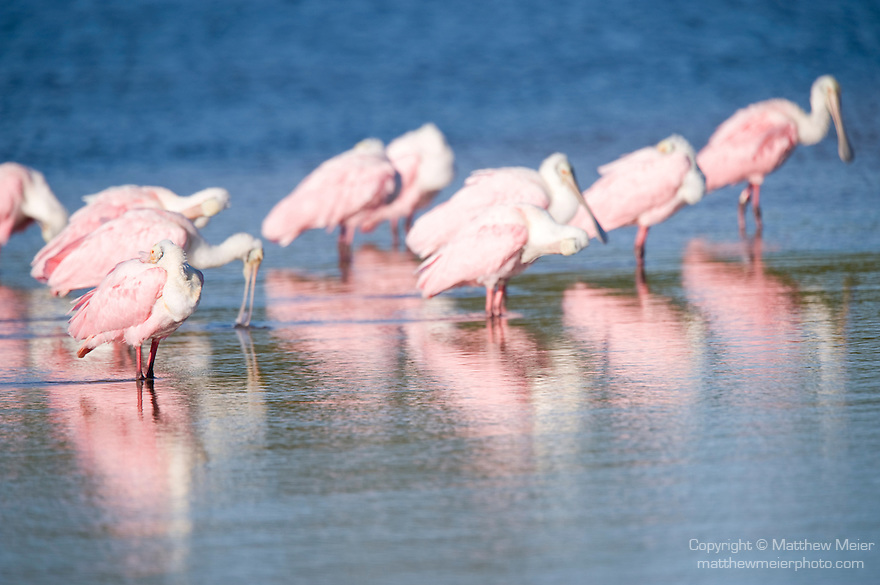 Ding Darling National Wildlife Refuge, Sanibel Island, Florida; Roseate Spoonbill (Ajaia ajaja) birds forage for food in the shallow water © Matthew Meier Photography, matthewmeierphoto.com All Rights Reserved