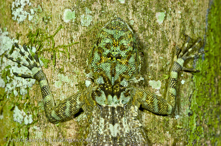 Collared Tree Runner (Plica plica), an arboreal lizard perfectly camouflaged on a lichen-covered tree in lowland tropical rainforest, Manu National Park, Madre de Dios, Peru
