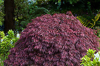 Purple leaf foliage Japanese maple tree- Acer palmatum 'Dissectum Garnet' in San Francisco Botanical Garden