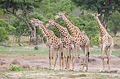 Female Giraffe is followed by four potential male suiters in this breeding herd. It may be that she is just coming into season and the interest is jst growing in her. Later the establishment of the dominant male will determine who gets to mate. Ususally the dominant male or bull. They are part of a much larger herd close by.