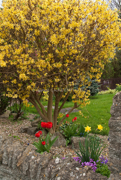 Forsythia Lynwood Gold shrub, spring bulbs daffodils, tulips, lawn, stone wall, in flower in yard garden landscaping