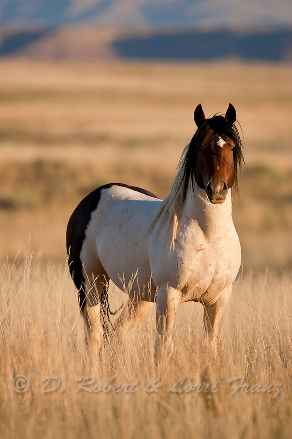 Wild Horse Or Mustang Yellowstone Nature Photography By D Robert Franz