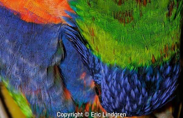 Colourful pattern from Rainbow Lorikeet feathers.  //  Rainbow Lorikeet: Psittacidae:Trichoglossus haematodus. Length to 30cm, wingspan to 45cm, weight to 150.  While preening an Australian Rainbow Lorikeet makes a colourful pattern of orange, royal blue and green. Found in coastal regions in northern and eastern Australia from the Kimberley Region in northern Western Australia (Red-collared Lorikeet) to eastern South Australia. Occurs in forests, woodlands and rural and urban areas. Feeds mainly on nectar and pollen which it gathers with its brush-tipped tongue. Aviary-escapees are established in many towns and cities. Now occurs in south-west Western Australia, New Zealand, Hong Kong.  Widespread with many subspecies - often with a different name - from eastern Indonesia (Maluku = Molucca Islands) through New Guinea east to Vanuatu and New Caledonia, north through Manus and the Admiralty Islands the Philippine Islands (taxonomy of the group is not yet finalised and this may be a different species).  Common.  //Eric Lindgren//