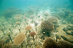Photos shows coral that has been planted on iron bars as part of a coral reef restoration project in Onna Village, Okinawa Prefecture, Japan, on  June 23, 2012. Photographer: Robert Gilhooly