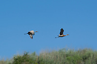 512660002 a pair of wild sandhill cranes grus canadensis take flight at dismal swamp modoc county california