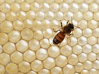Honeybee on white comb