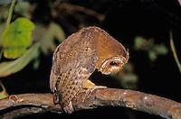 Jamaican Owl, Pseudoscops grammicus, adult at night, Rocklands, Montego Bay, Jamaica, Caribbean