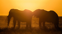 Two playful bull elephants in silhouette