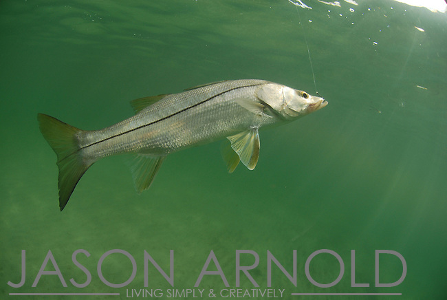 black singles in snook There's been a few redfish and black drum during canals and the leeward side of islands are catching decent snook lot's of singles and a few.