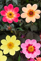 Dahlia Happy Single Series, 4 different flowers