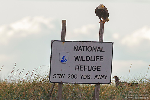 Bald Eagles on National Wildlife Refuge Sign, Protection Island, Washington