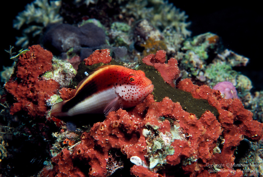 Milne Bay, Papua New Guinea; Freckled Hawkfish (Paracirrhites forsteri), to 22 cm (8 ¾ in.), solitary, perch on corals in coastal, lagoon and seaward reefs in 1-35 meters, found in Red Sea and E. Africa to Marquesas Island in French Polynesia, S.W. Japan to Australia , Copyright © Matthew Meier, matthewmeierphoto.com