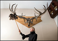 BNPS.co.uk (01202 558833)<br /> Pic: PhilYeomans/BNPS<br /> <br /> Blenheim manager Kate Ballenger dusts off the newly restored antlers.<br /> <br /> Elk &amp; Safety fears leads to staggering restoration.<br /> <br /> 8000 year old deer horns have been restored to their former glory at Blenheim Palace in Oxfordshire.<br /> <br /> The huge 10ft wide antlers came from an extinct species of Irish Elk, that are believed to have sported the largest antlers in deer history.<br /> <br /> They were collected by the 7th Duke of Marlborough from an Irish peat bog in the late 19th century.<br /> <br /> 'Following advice we decided to move the restored antlers from the Great Hall to a less lofty location in the Palace', said House Manager Kate Ballenger.<br /> <br /> 'Not only does this make them easier to view, it also eliminates the risk of 10st antlers being suspended 40ft above the visitors!'.