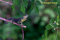 CH34-531z  Male Jackson's Chameleon or Three-horned Chameleon tongue flicking to catch insect prey, Chamaeleo jacksonii