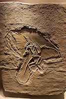 Arqueopterix fossil, ancestor of modern birds, Gran Museo del Mundo Maya museum in Merida, Yucatan, Mexico  .                           .