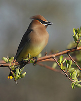Cedar Waxwing posing during the first week of spring.