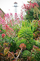 Guard watchtower overooking gardens of Alcatraz with Centranthus ruber, Jupiter's Beard and succulents