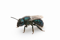 Blueberry Bee or Leafcutter Bee (Osmia ribifloris), Texas, USA