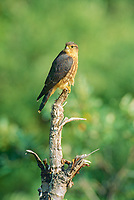 Merlin perched on dead tree stump in Denali National Park, Alaska