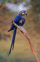 Hyacinth Macaw (Anodorhynchus hyacinthinus), adult eating, Pantanal, Brazil, South America