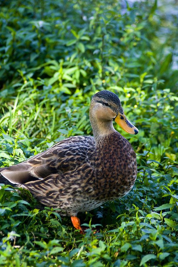 Mottled duck, Morton Lake, Lakeland, Florida