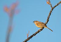 578680008 a wild male botteri's sparrow aimophila botteri perches on a flowering ocotillo plant foqueria splendens in the madera grasslands near madera canyon pima county arizona united states