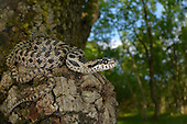 Four-lined Snake (Elaphe quatuorlineata) young, Croatia