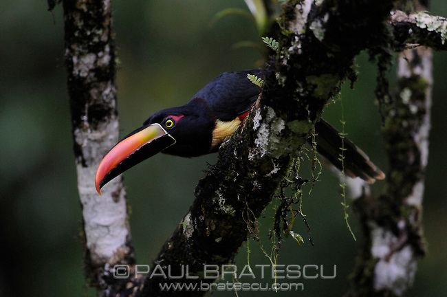 Fiery-billed Aracari, (Pteroglossus frantzii), is a toucan, which breeds only on the Pacific slopes of southern Costa Rica and western Panama. The binomial commemorates the German naturalist Alexander von Frantzius.