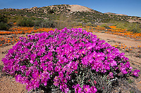 Namaqualand wildflowers,  Namaqualand, South Africa  a  One of the world's largest wildflower blooms  Rushia sp. .