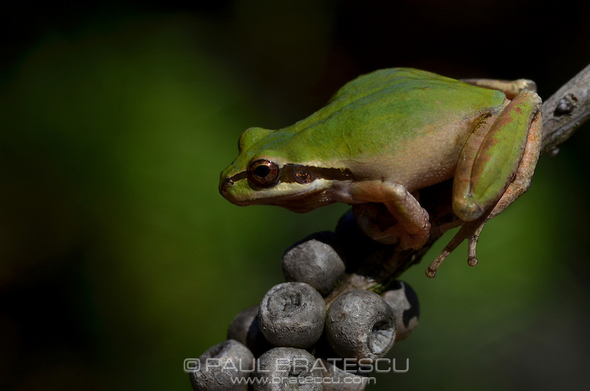 Pacific Tree Frog (Pseudacris regilla)Found this beautiful frog after several days of heavy rain in Fallbrook, California.
