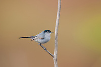 536360002 a wild male california gnatcatcher polioptila californica a federally threatened species perches on a dead twig in open space protected habitat los angeles county california