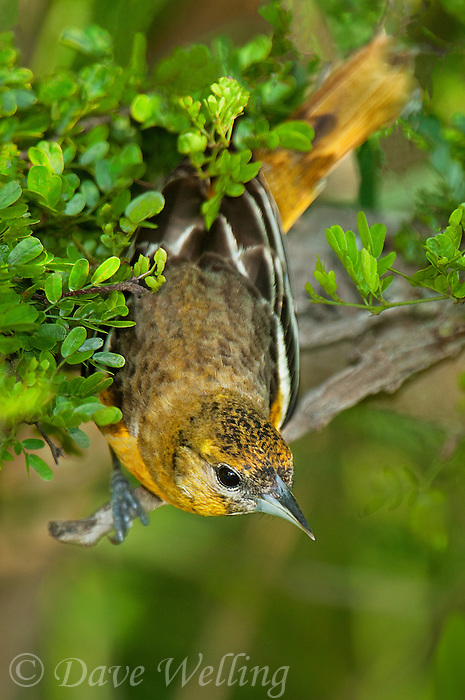 561920075 a wild first spring female  baltimore oriole songbird icterus galbula perches in thich plant cover on south padre island cameron county texas