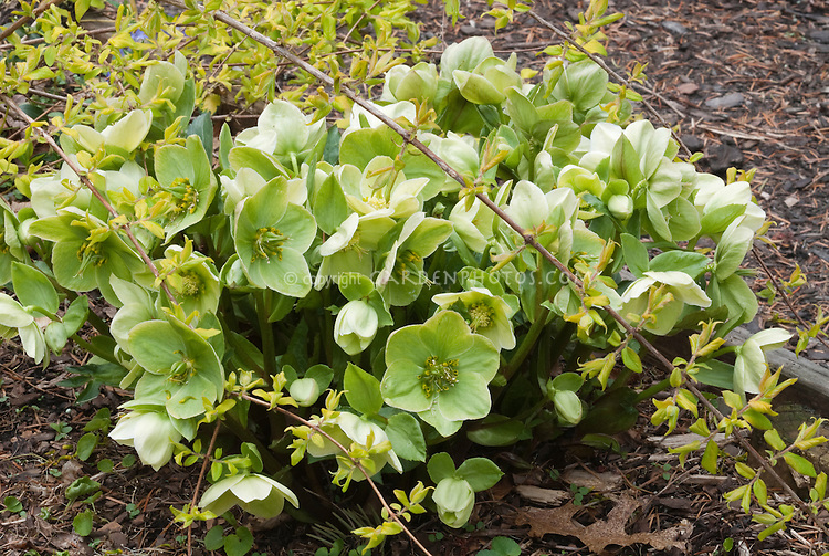 Helleborus x nigercor Green Corsican with Kolkwitzia amabilis Dream Catcher