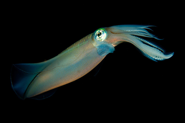 Bigfin reef squid: Sepioteuthis lessoniana, tending eggs which have been laid along a buoy line, taken at dusk, Lembeh Strait