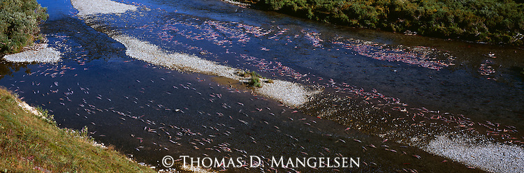 Dead salmon in a river on the Alaska Peninsula.