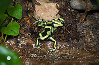 The Green and Black Poison Dart Frog (Dendrobates auratus) hunting for insects, captive