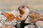 Mongolian marmot or tarvaga, Govi-Altai Province, Mongolia