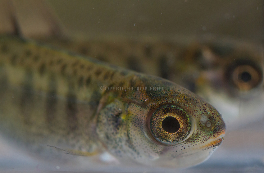 Chinook salmon fry.close ups, portraits and macro