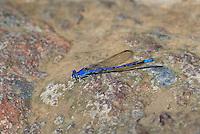 338660002 a wild male spine-tipped dancer damselfly argia extranea perches on a rock along bear creek in the coronado national forest arizona