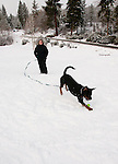 California, Lake Tahoe: Young Rottweiler dog 15 month old in the snow at  North Lake Tahoe Regional Park.  Photo copyright Lee Foster.  Photo # cataho107531