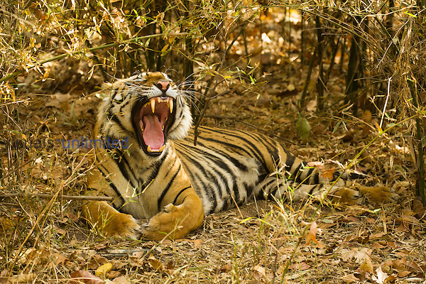 Bengal Tiger (Panthera tigris tigris) yawning and resting in undergrowth, Bandhavgarh National Park, Madhya Pradesh, India