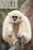 A White-Handed Gibbon  ,Hylobates lar,
