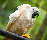 A Seram cockatoo ruffles its peachy feathers at the Masihulan Wildlife Rehabilitation Center. Rescued from an illegal wildlife trade, the birds undergo rehabilitation before release into wild forests.