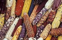 Heirloom Corn varieties ,Zea mays,.