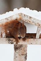 Europäisches Eichhörnchen, an der Vogelfütterung, Fütterung im Winter bei Schnee, im mit Körnern gefüllten Futterhäuschen, Vogelhäuschen, Futterhaus, Vogelhaus, Winterfütterung, Sciurus vulgaris, European red squirrel