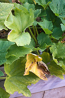 Fusarium wilt in crookneck squash vegetable