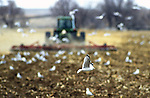 A seagull scans for grain as a farmer plows his field in preparation for winter after harvest
