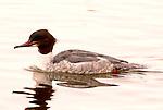 Goosander, Mergus merganser, female floating on water, Lake Kussharo-ko, Hokkaido Island, Japan, japanese, Asian, wilderness, wild, untamed, ornithology.Japan....