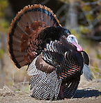 Strutting Tom Turkey in the spring mating season in Montana