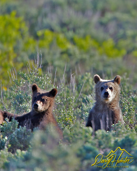 Standing Grizzly Bear Cubs of Grizzly sow #399 in  Grand Teton National Park, Jackson Hole, Wyoming